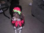 Highlight for Album: Christmas for the doggies